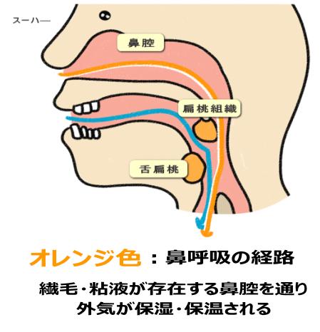 鼻呼吸の経路