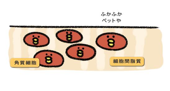 角質細胞と細胞間脂質