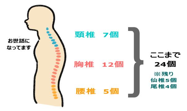 椎骨の分類図